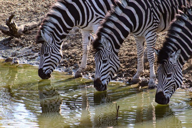 Three Zebras Drinking x
