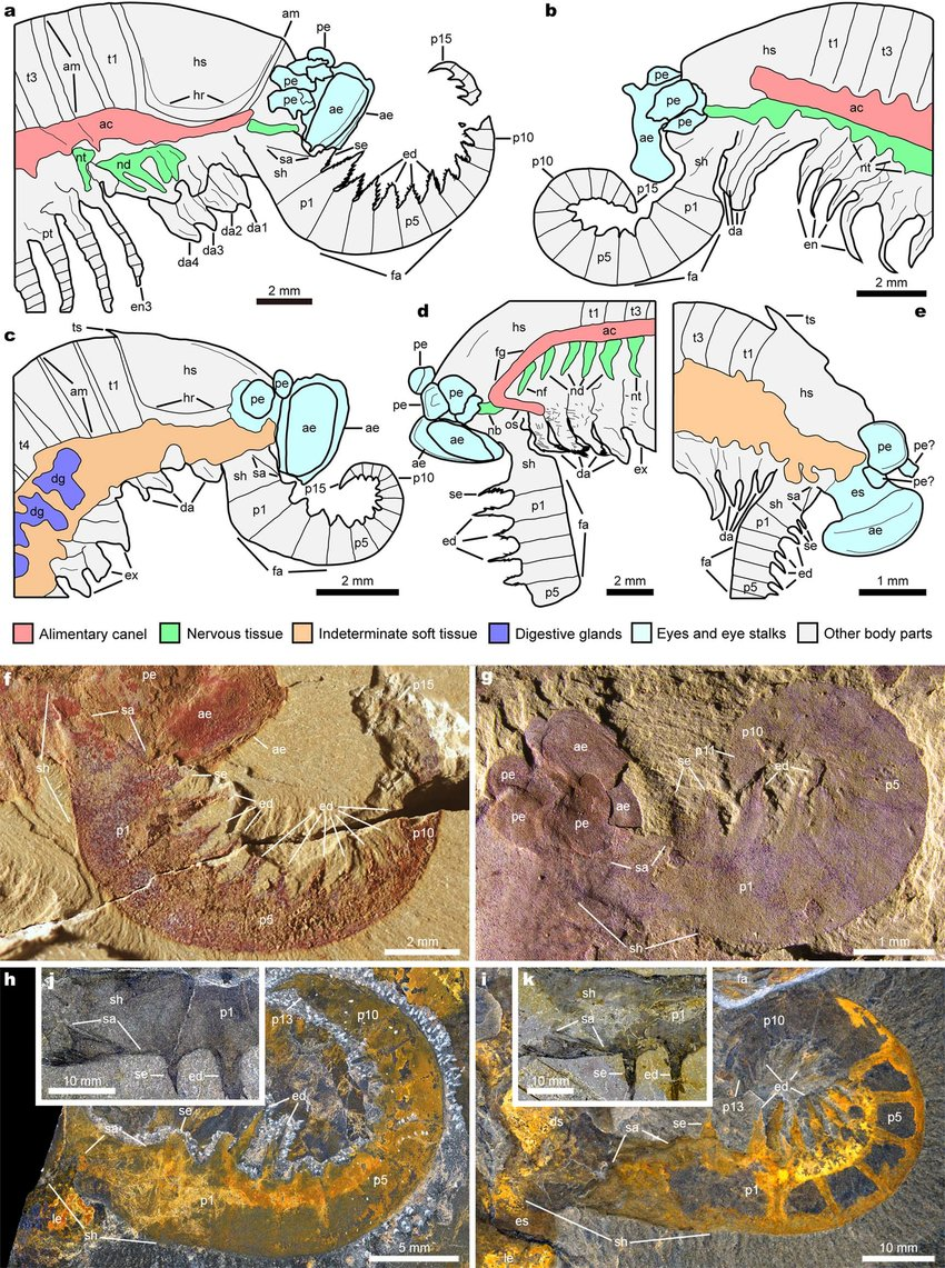 Drawings of the head region in Kylinxia and comparison of frontalmost appendages in