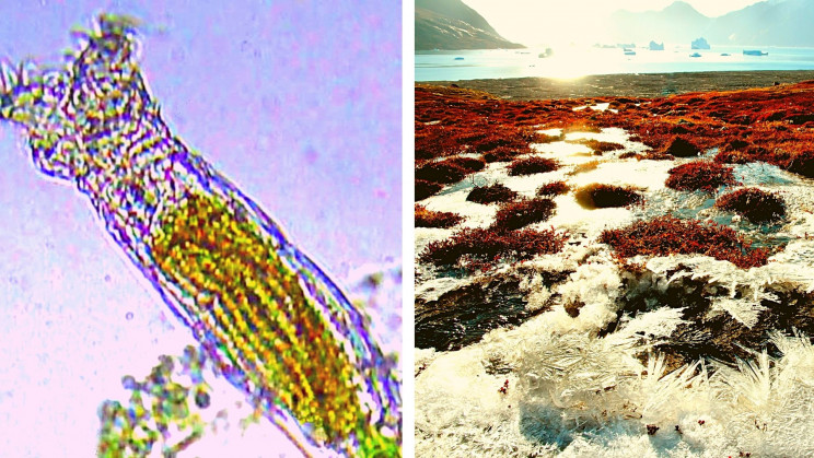 revived rotifer creatures frozen arctic years resize md